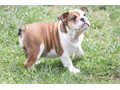 English bulldog female pup 12 weeks old chocolate carrier   European bloodlines  mom was import from