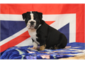 English Bulldog Male  2500008 WEEKS   OLD  SHOTS  AND DEWORMING714 62