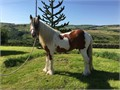 2 year old chestnut cob standing approx 132hh will mature around 14hh Lovely temperament stands t