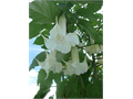 drought tolerant 2 gallon 2 feet tall Angel Trumpet gorgeous double White flowers like one flower in