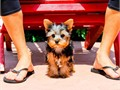 Miles is a 9 week old Tiny male Yorkie He has his current vaccines and vet checks and comes with a