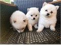 hello i have pomeranian puppies males and females available re homing them for 1500 each text me 90