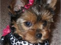 I have one female and one male Tea cup Yorkie they are 11 weeks old wormed two sets of shots tai