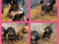 offered in person I have two black with tan dachshund puppies miniature size