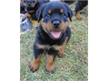 AKC German registered Rottweiler puppies 13 weeks old Vet checked all shots and dewormed parents