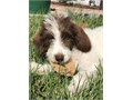 I was born on July 13th 2017 I am a standard size female Labradoodle I love to play snuggle and I
