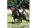 Rottweiler German AKC Females Puppies Big block Head thick wide Muzzle Very Beautiful Mahogany color