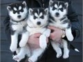 This Siberian husky puppy is 12 weeks old They are vaccinated vet checked wor