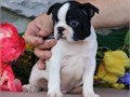 Boston Terrier puppiesCaring Boston terrier puppies ready The puppies have be