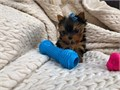 Our pups are the most adorable little pups you will find they have been very well socialized so are