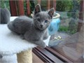 e Russian Blue Kits Affectionate males and females available today Interested home should contact
