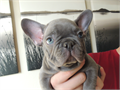 AKC French Bulldogs for sale Pups are 9 weeks old and come with full breeding rights at asking pric