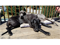 Purebred Great Dane puppies Both parents are AKC Will be ready for homes around September Accepti