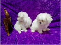 Puppies come with two sets of pups shots health certificates from my vet verifying excellent health