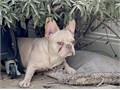 Chocolate covered in cream frenchie AKC and pedigree 7month oldCall or text for more info