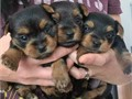 Teacup yorkie puppiesSUPER TINY  1LBS NOWMOM AND DAD BOTH 3LBSSHORT NOSE ROUND FACE SUPE