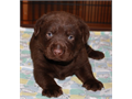 AKC Chocolate Male ready 68 shots deworming current parents on site 800 9514737622 Vic