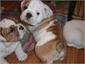 We have four male and 3 females beautiful English bulldog puppies They are vet-checked registere
