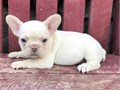 Wow French bulldog puppies for sale Please contact this number 269-421-1663 by TextCalling