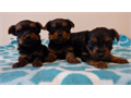3 purebred female Yorkie puppies AKC registered available 700 or 1000 first shots given  Read