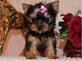 Registered Yorkie puppies for adoption Male and female Excellent colors and ma