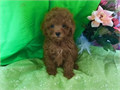EXCLUSIVE COLOR   DARK RED COLOR THAT  STAY RED  TOY SIZE MALTIPOO TEDDYBEAR FACELOOKS LIKE