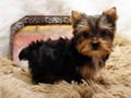 2 adorable yorkie puppies looking for a good home 500 each  purebred no papers  have their fi