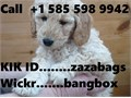 1 Female Goldendoodle Pup still availablehas had 1st vaccination microchipped