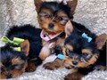 CUTE  YORKIESPUPPIES FOR SELL contact for more info httpattractiveyorkiepuppiescomHealth f