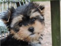 Beautiful Authentic Doll Faced Yorkie Yorkshire Terrier Puppies text-408-676-7102 000 408-676-7102