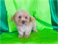 Apricot maltipoo with blonde highlights Gorgeous color one of a kind Up to date on Shots and de
