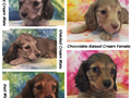 Mini dachshund puppies AKC Females and Males Smooth and Longhair Solids and Piebalds Reds Choc