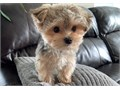 My name is Lisa and Im a Morkie puppy my mom in a Maltese and my dad is a Yorkshire Terrier Im 9