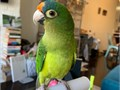 I have for sale a beautiful playful and healthy conures parrotsDoes not bite or nip interacts wit