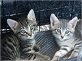 American Shorthair Male Female   8 wks old shots given and ready for adoption  Great for grand