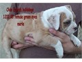 Olde English Bulldogge female merle puppies blue and gvreen eyes 120000 tails docked shots de worme