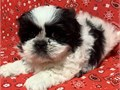 Shih Tzu puppies ready for furever homesj  Registered vaccinated micro-chipped and health guarant
