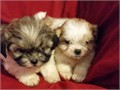 Beautiful Shih Tzu Puppies Purebred w papers Current Shots Very loving and playful Ready now F