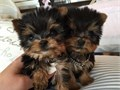 Teacup Yorkie PupsMFs10wks Shots UTD with papersFor instant feedbackTextCa