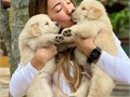 Super cute Golden Retriever puppies are looking for a forever-loving homeFull AKC registered Sho