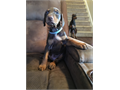 AKC Doberman Puppies - litter of 12 Socialized daily with children ages 5 and 13Dewclaws remov