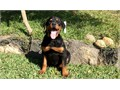 Female Rottweiler Puppy 3 months tail docked veterinarian checked she comes with current vaccinat