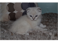 Absolutely Adorable blue-eyed 12 weeks old Scottish Fold Boy Very sweet personality Gentle and lo