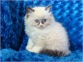 401 305-0156In home raised lovely puppies registered happy and healthy Ragdoll kittens Extr