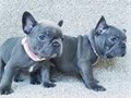 CUTE AND AFFECTIONATE PUPPIES AVAILABLE FOR NEW HOMES GOOD WITH KIDS AND OTHER PETS WILL MAKE A GO