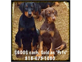 Doberman Pinscher Puppies For Sale Our Puppies Come with ALL Current Vaccinations  Dewormings an