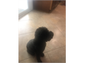 DescriptionSTUD SERVICE AKC Black Mini Poodle11 lbs 6 years old Proven stud with AKC lit