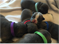French Bulldog Male Female Small  85000 I breed AKC registered French Bulldogs  My babies ge