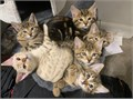 We have available males and females Bengal Kittens  They are up to date on shots and comes with hea