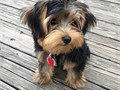 Super adorable Yorkie Puppies So gentle and affectionate I have 2 left  This